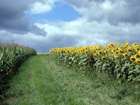 Sonnenblumenfeld-B-837