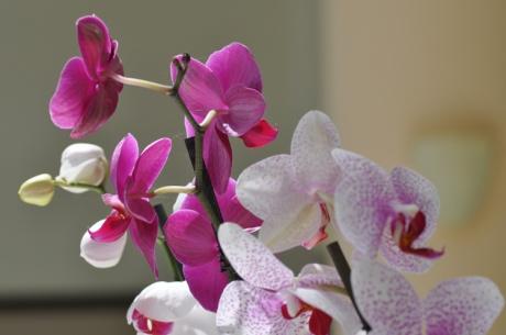 Orchidee.-Kreta-0957