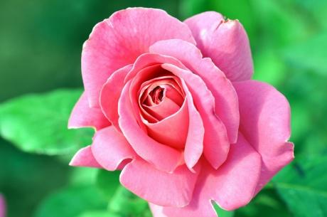 Rose.-Kreta-0890