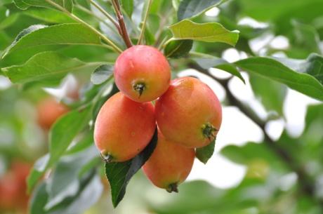 Zieräpfel-Obst-7852