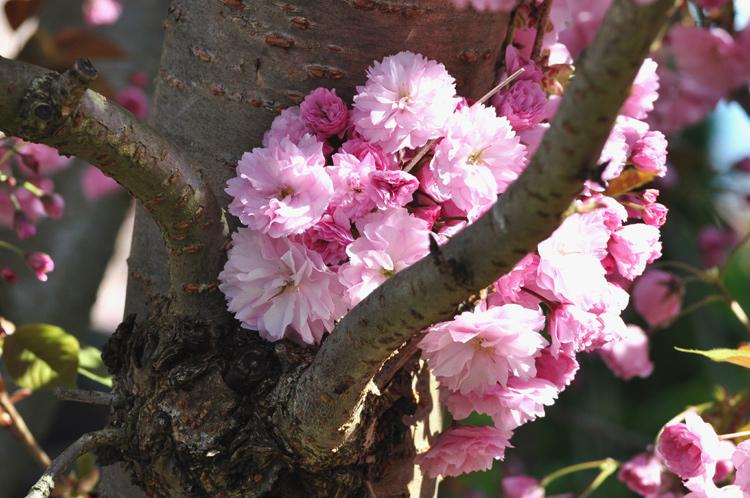 Rosa-Blüten-2013-04-2480