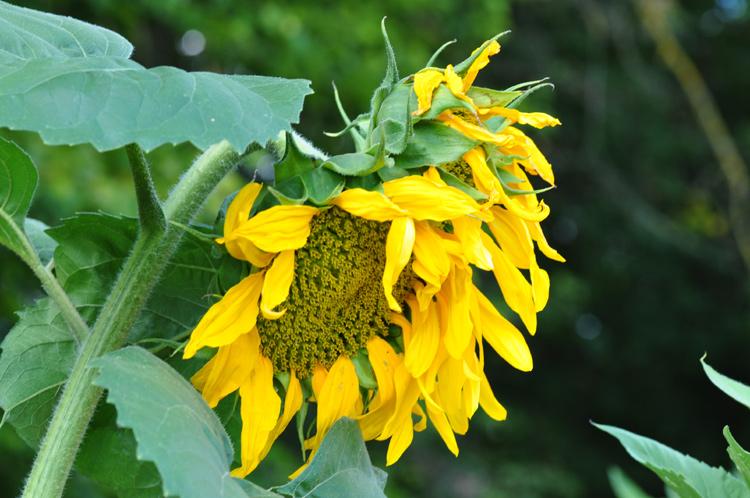 Sonnenblumen-Bl-1342
