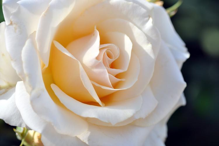 Rose-weiß-Kreta-0895