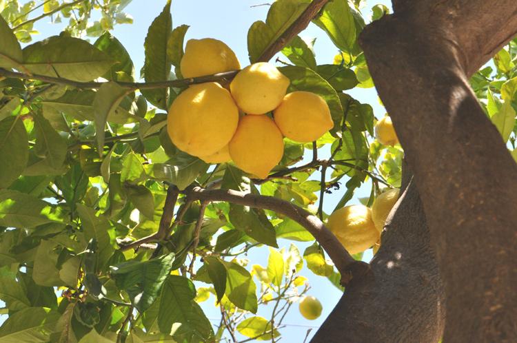 Zitronenbaum-Kreta-2014-DSC
