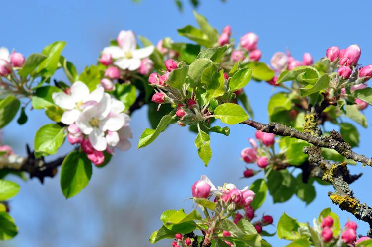 Apfelbueten.2011-04.5248