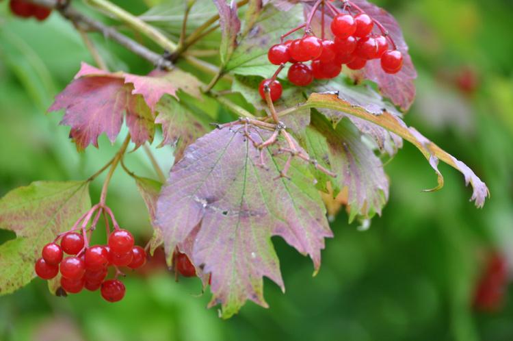 Strauch-mit-roten-Beeren.-L