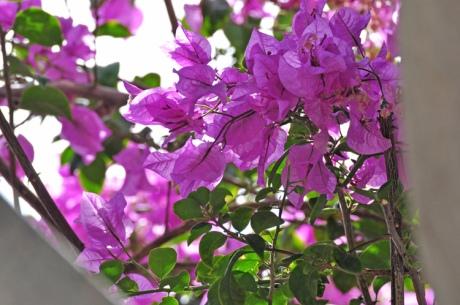 Violette-Blueten-Lanzarote-