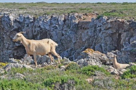 Ziegen-Menorca-10578-Kopie