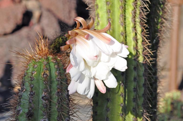 Kaktus-und-Bluete.-Lanzarot