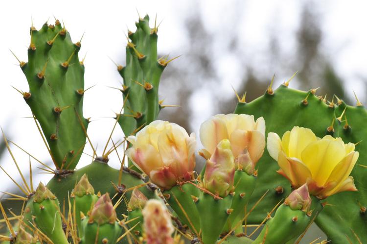 Gelbe-Kaktusblueten.-Fuerte.jpg