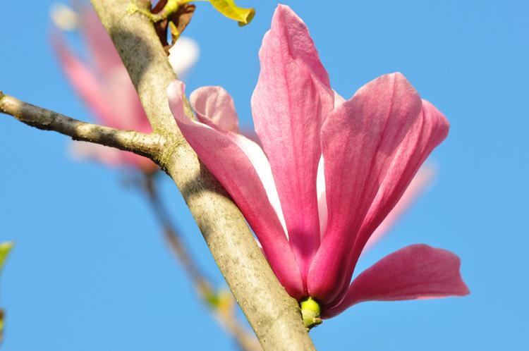 Magnolie-2016-04.9325.jpg