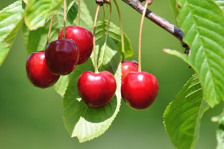 Kirschen.-Obst...-7494