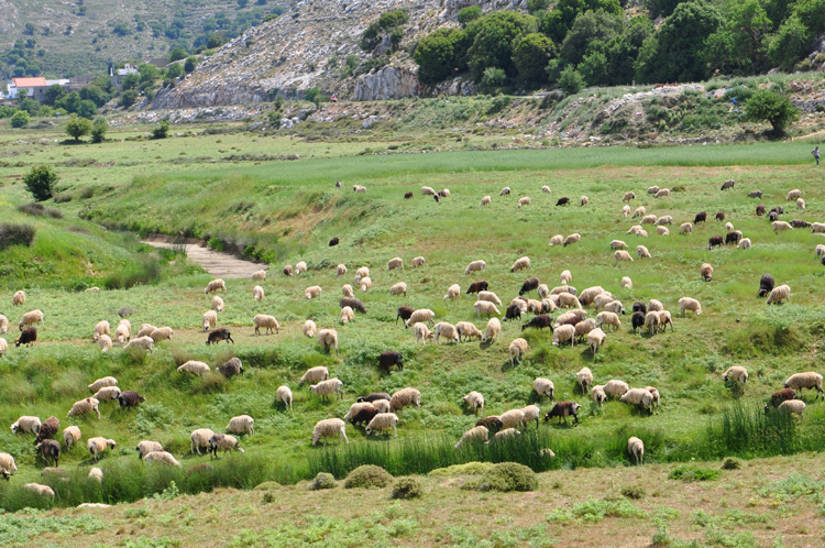 Schafherde.-Kreta-2014.-573