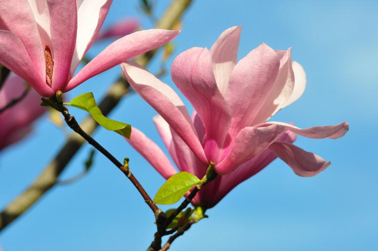 magnolien-2016-04-9328