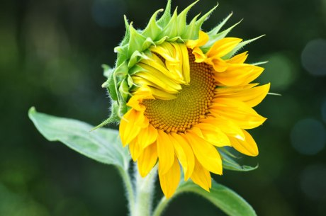 Sonnenblume.-1343