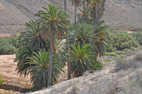 Palmenhain-Fuerteventura.-3