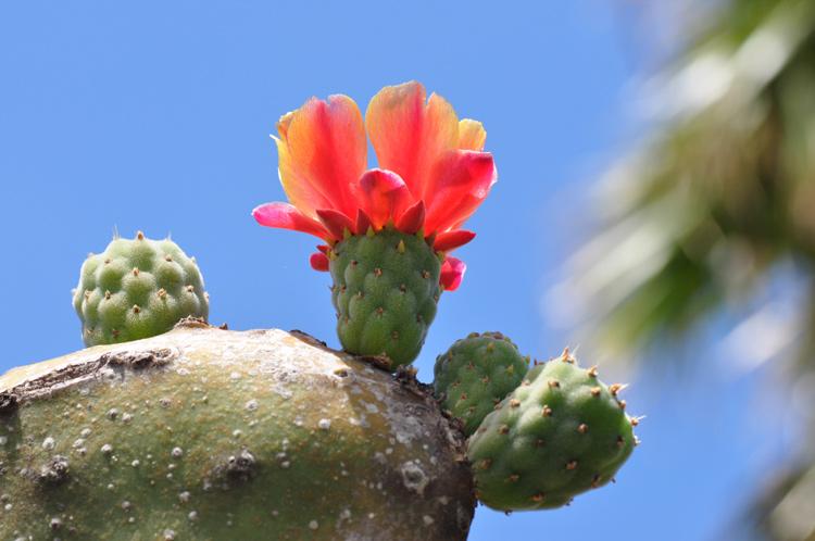 Kaktus-Gran-Canaria.6345