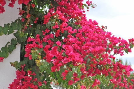 Bougainvillea.-Kreta-2014.6.jpg