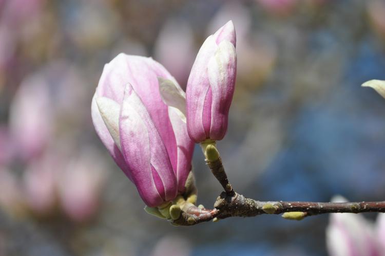 Magnolienzweig-2019-03.3564.jpg