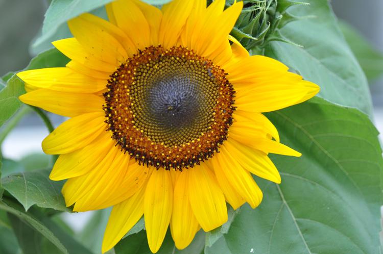Sonnenblume-2019-07.-4279