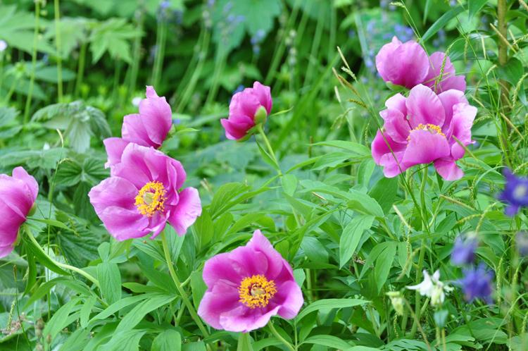 Rosa-Blumen-2020-05.5029