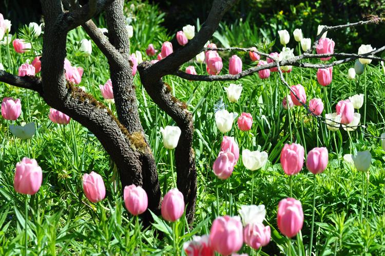 Tulpen-Baum-2020-05.4973