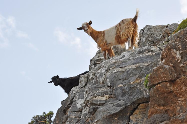 Ziegen-Kreta-2014.5925